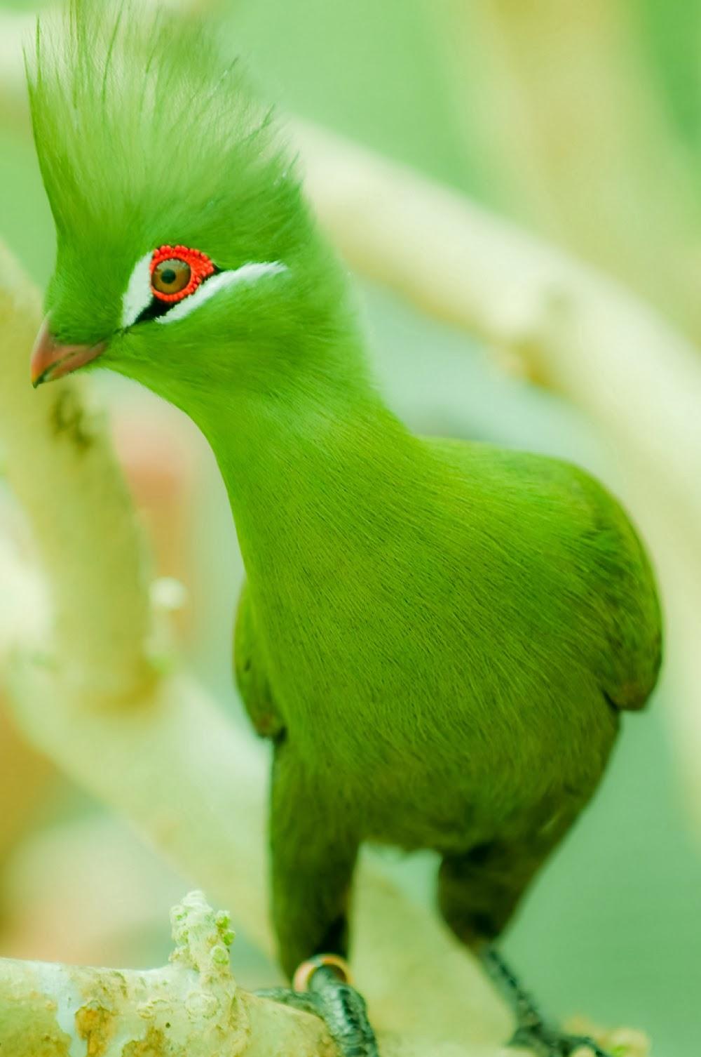 Guinea Turaco Bird