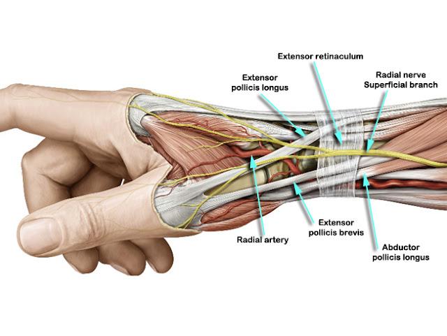 Thumb tendon anatomy