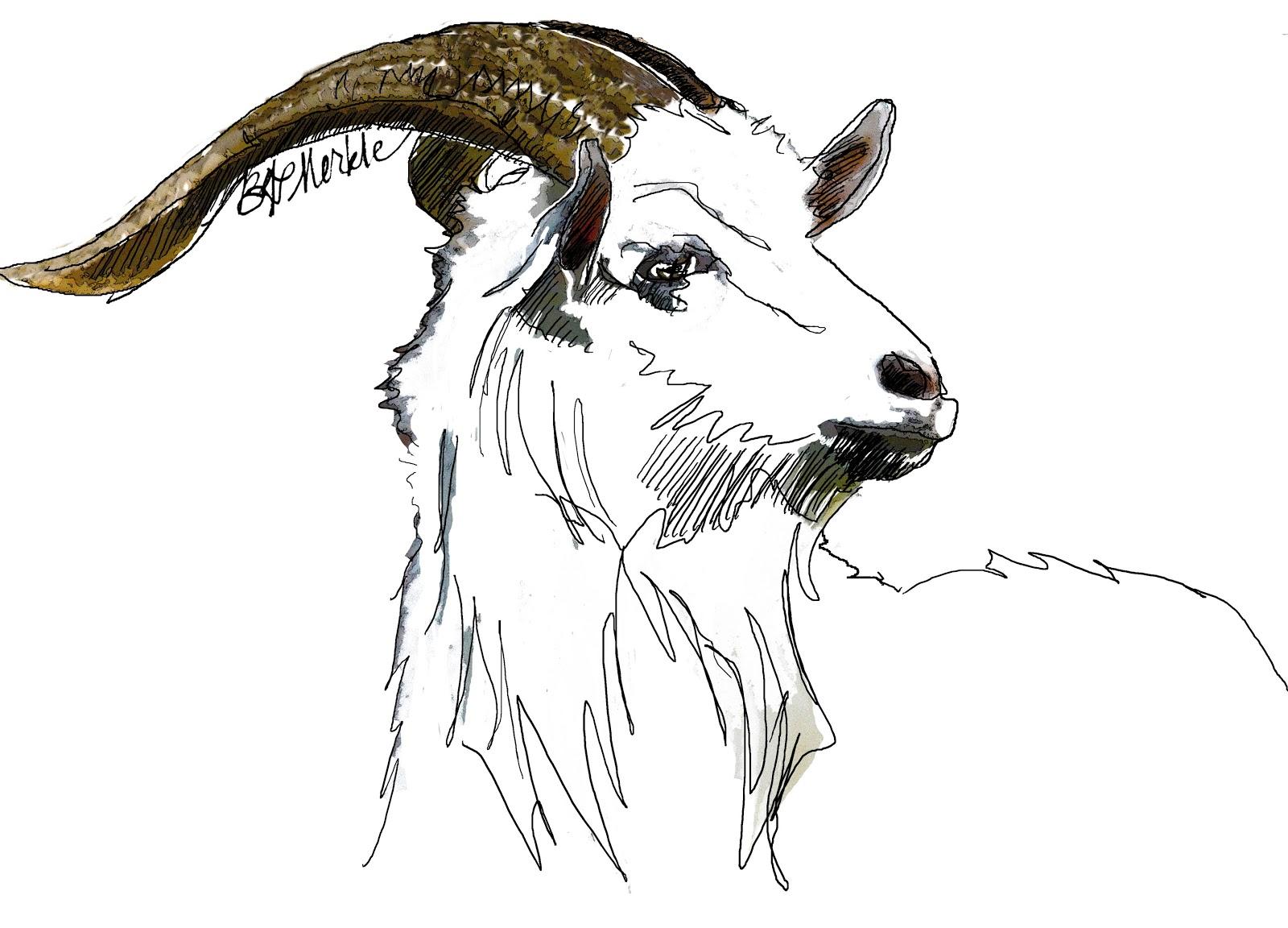sketchbook snapshot sketching billy goats