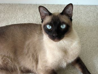 tonkinese cats information kittens mix siamese pictures breed pets