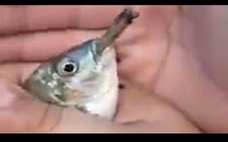 """Um vídeo chocante mostra o momento que dois homens forçam um peixe a fumar um cigarro de maconha, enquanto sorriem histericamente. Nas imagens chocantes, um dos homens – que não foram identificados – segura o peixe na palma da mão, enquanto uma segunda pessoa abre sua boca. Eles, então, inserem o cigarro a força na boca do animal e riem em voz alta após o peixe parecer """"tragar"""" o cigarro de maconha. Momentos depois, eles retiram o cigarro da boca do peixe e o atira de volta ao lago. De forma irônica, o rapaz que o solta diz: """"Para vocês verem, nós não zoamos [sic], nós soltamos"""". Não está claro se o peixe sobreviveu após o incidente. O vídeo foi enviado para o portal LiveLeak e teve mais de 53.600 visualizações em apenas 16 horas."""