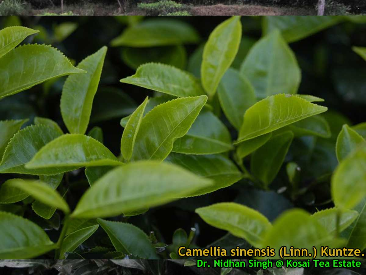 Camellia sinensis related keywords camellia sinensis - Camelia planta ...