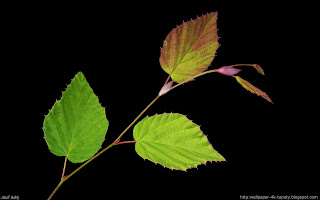 http://wallpaper-4k-tapety.blogspot.com/2015/02/corylopsis-pauciflora-leszczynowiec.html