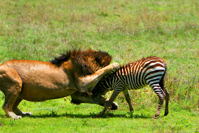 wallpapers of animal lion hunting zebra gallery