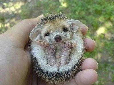 animales-raros-puercoespin-bebe