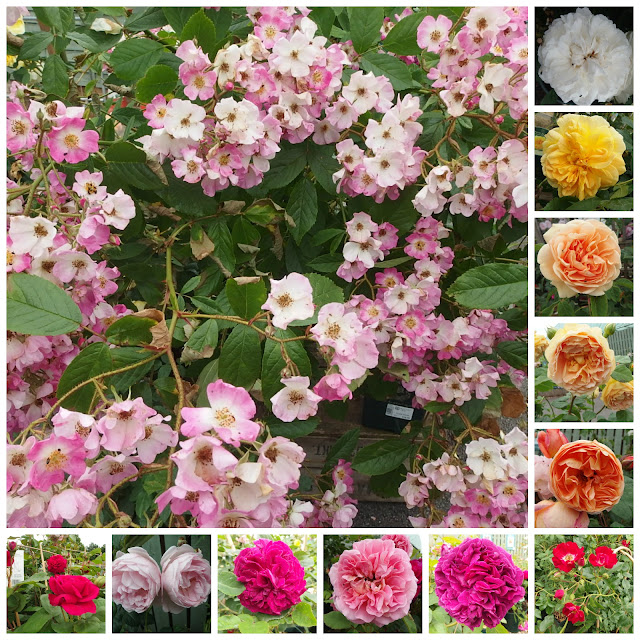 A collage of David Austin roses looking good in early July
