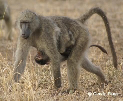 Chacma baboon - photo#22