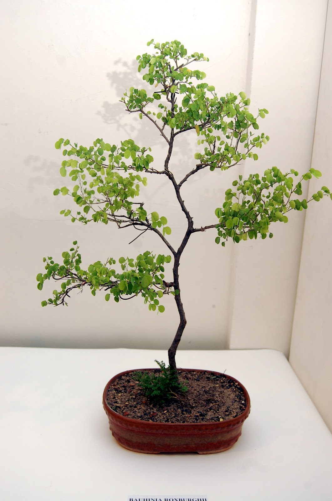 The Art And Science Of Bonsai Pictures From My Solo Bonsai Show