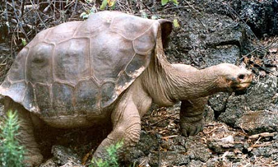 Lonesome George Tortoise