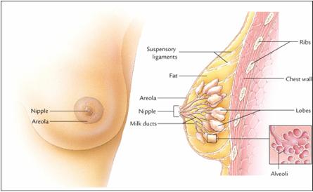 Image Cara Alami Menyembuhkan Kanker Payudara