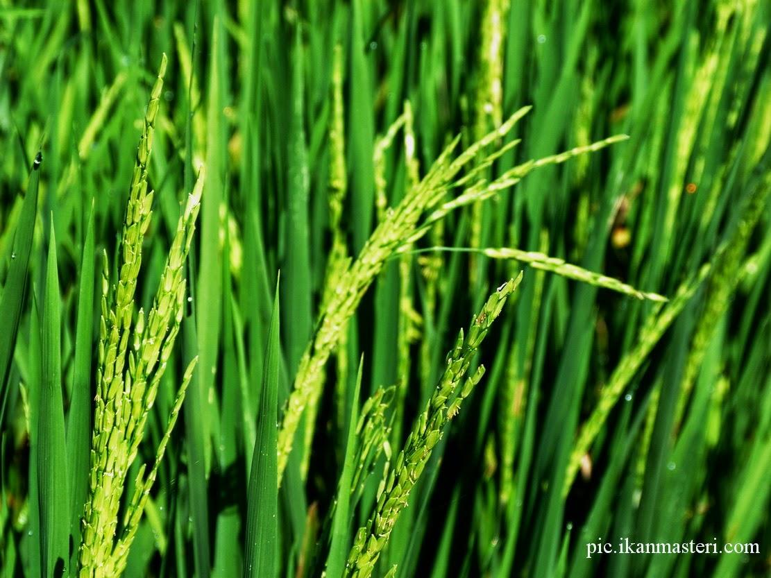 Tanaman padi mulai njenthiri