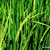 Menunggu panen padi selepas matun