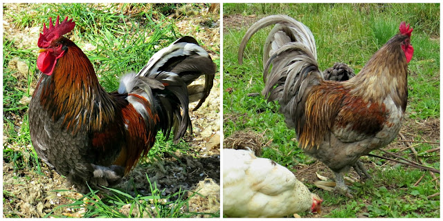 Araucana Chicken || Jocees Farm