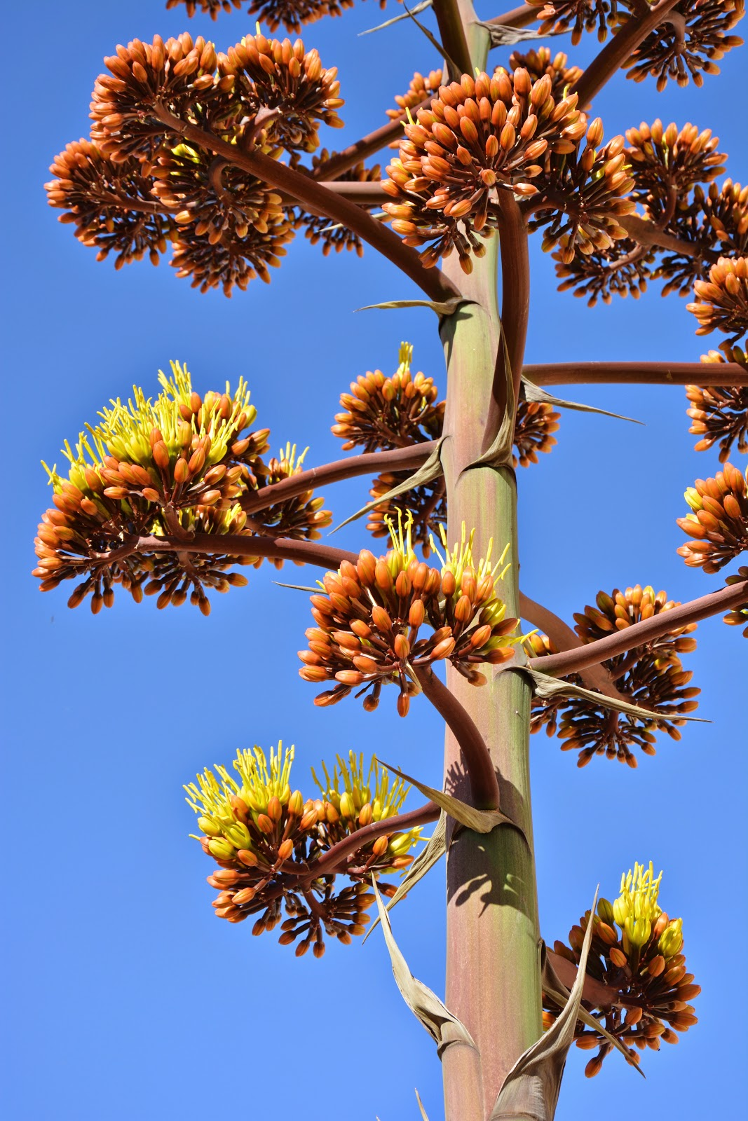 Living on Winchester Ranch: Blue Agave Blooming