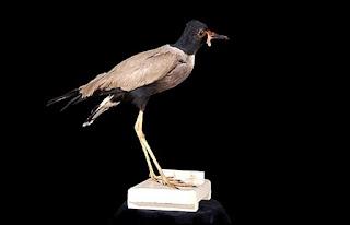 Trulek Jawa Vanellus macropterus, punah sejak tahun 1940