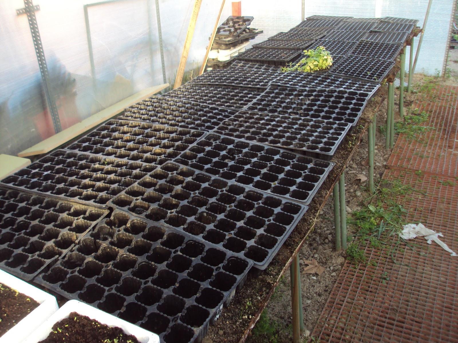 semilleros en el invernadero