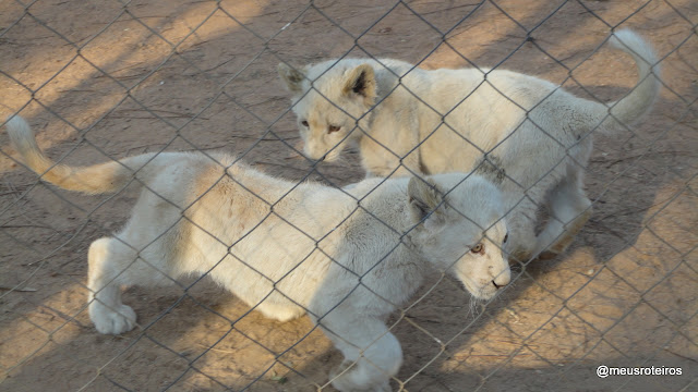 Lion Cubs at Lion Park - Johannesburg