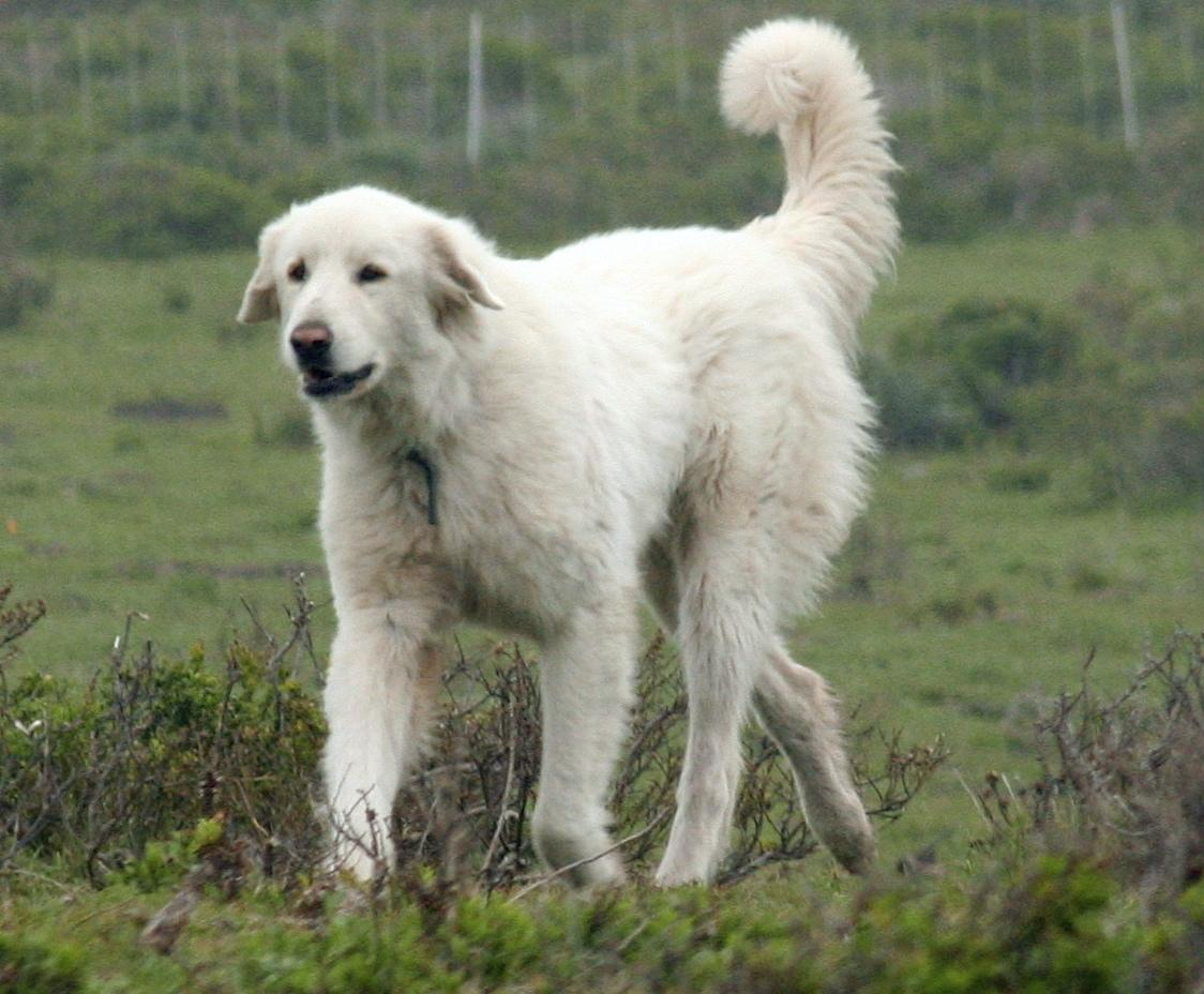 Everything Top Dog: Akbash Dog