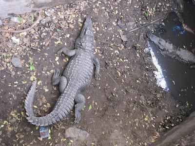 Cocodrilos del zoo de Dakar