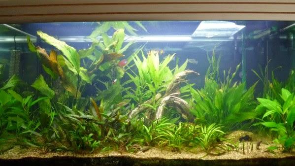 L 39 aquarium de nicolas des fleurs au dessus du bac for Aquarium bac