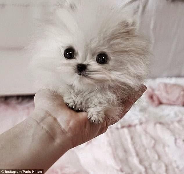 صور رائعه لاصغر كلاب فى العالم