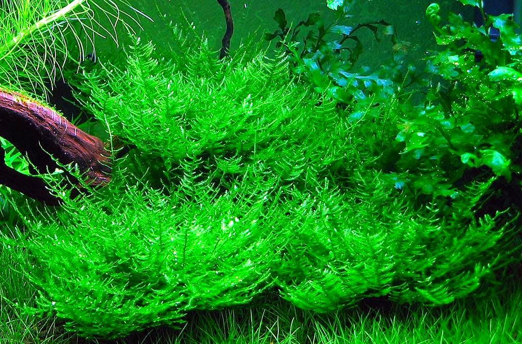 Peacok Moss Aquascape