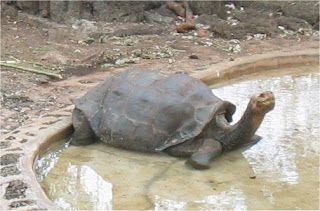 Lonesome George pictures