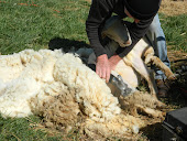Sheep Shearing 2012
