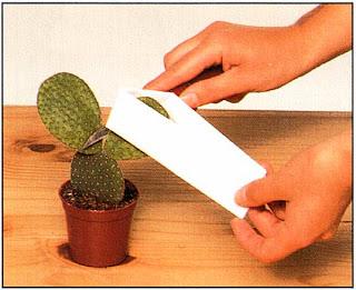Кактусы с плоскими округлыми побегами легко укоренить, но брать их нужно осторожно