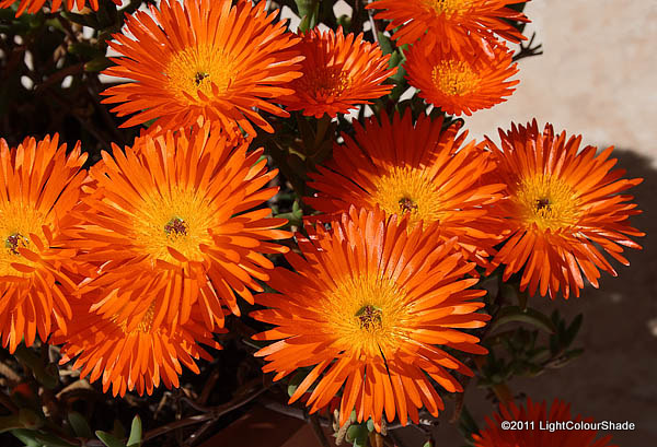 Orange ice plant Lampranthus aureus in full blossom