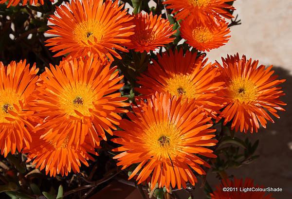 Orange ice plant Lampranthus aureus in full blossom