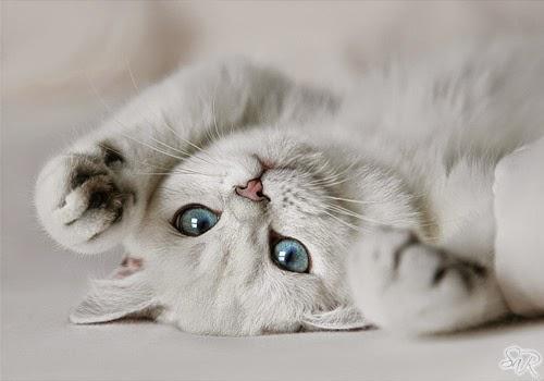 Cara Merawat Kucing Persia Yang Baik Dan Benar