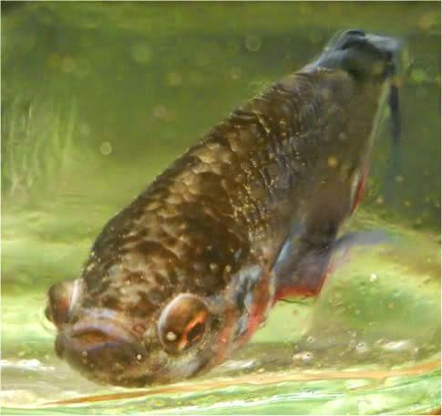 Sgbettacube betta sickness diseases for Betta fish swim bladder