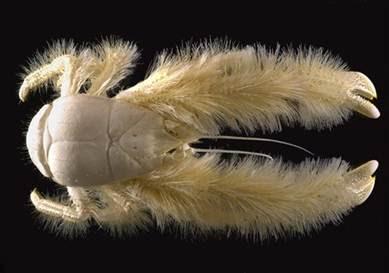 Kepiting yeti (Kiwa hirsuta)