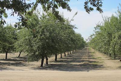 Almond harvesting in Ripon