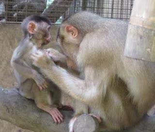 Baby Macaque Rescue