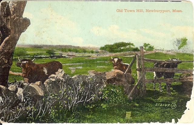 Old Town Hill, postcard, Newbury, Massachusetts, cows, curious