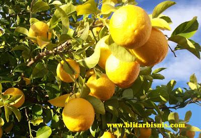 Budidaya Lemon, Kecut Rasanya Namun Segar Labanya