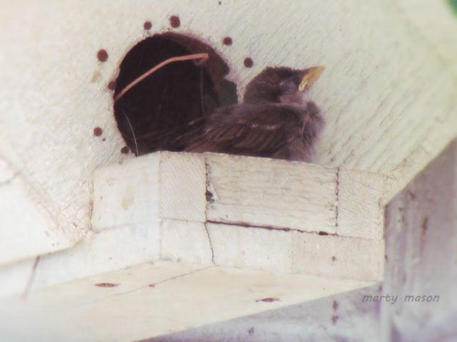 Sparrow Babe