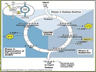 reaksi gelap (siklus calvin)