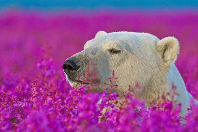 Fotógrafo registra imagens de Ursos polares brincando em campos de flores durante o verão