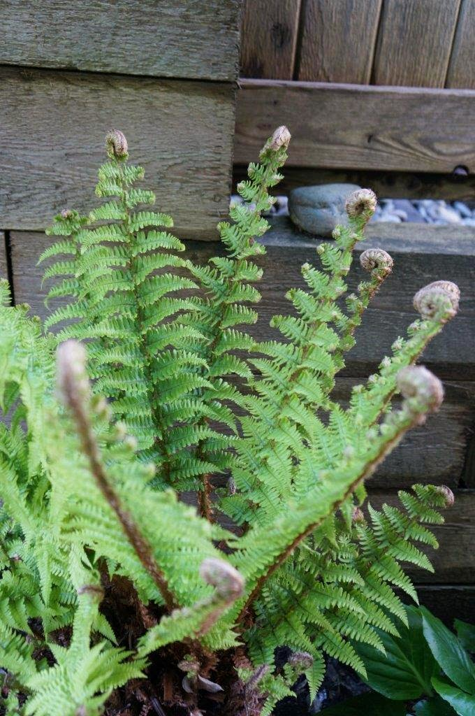 Fern fronds emerging in Spring.