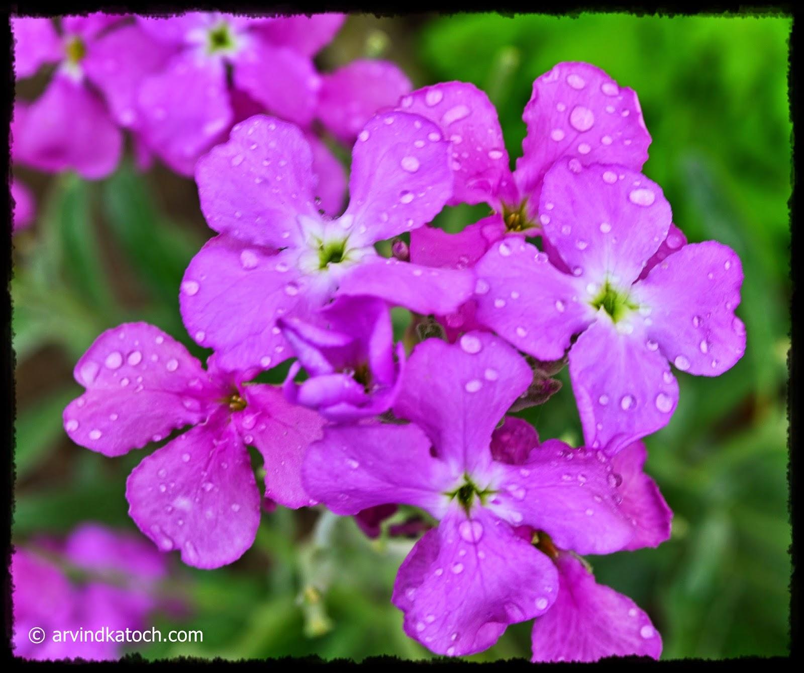 Water Droplets, Flowers, Garden flowers