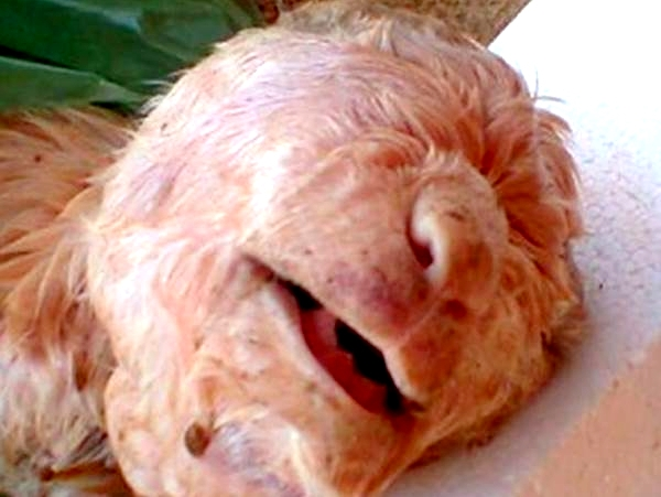 INCRÍVEL! Cabrito Nasce parecido com humano em fazenda no sertão do