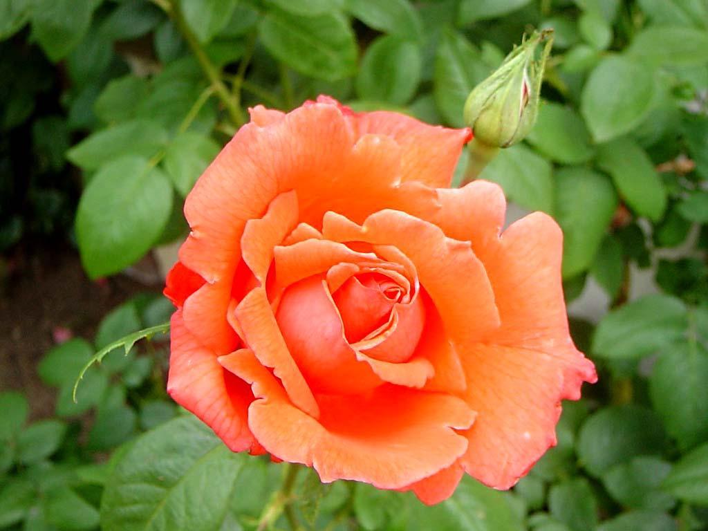 Descubre el significado del color de las rosas curiososes - Significado colores de las rosas ...