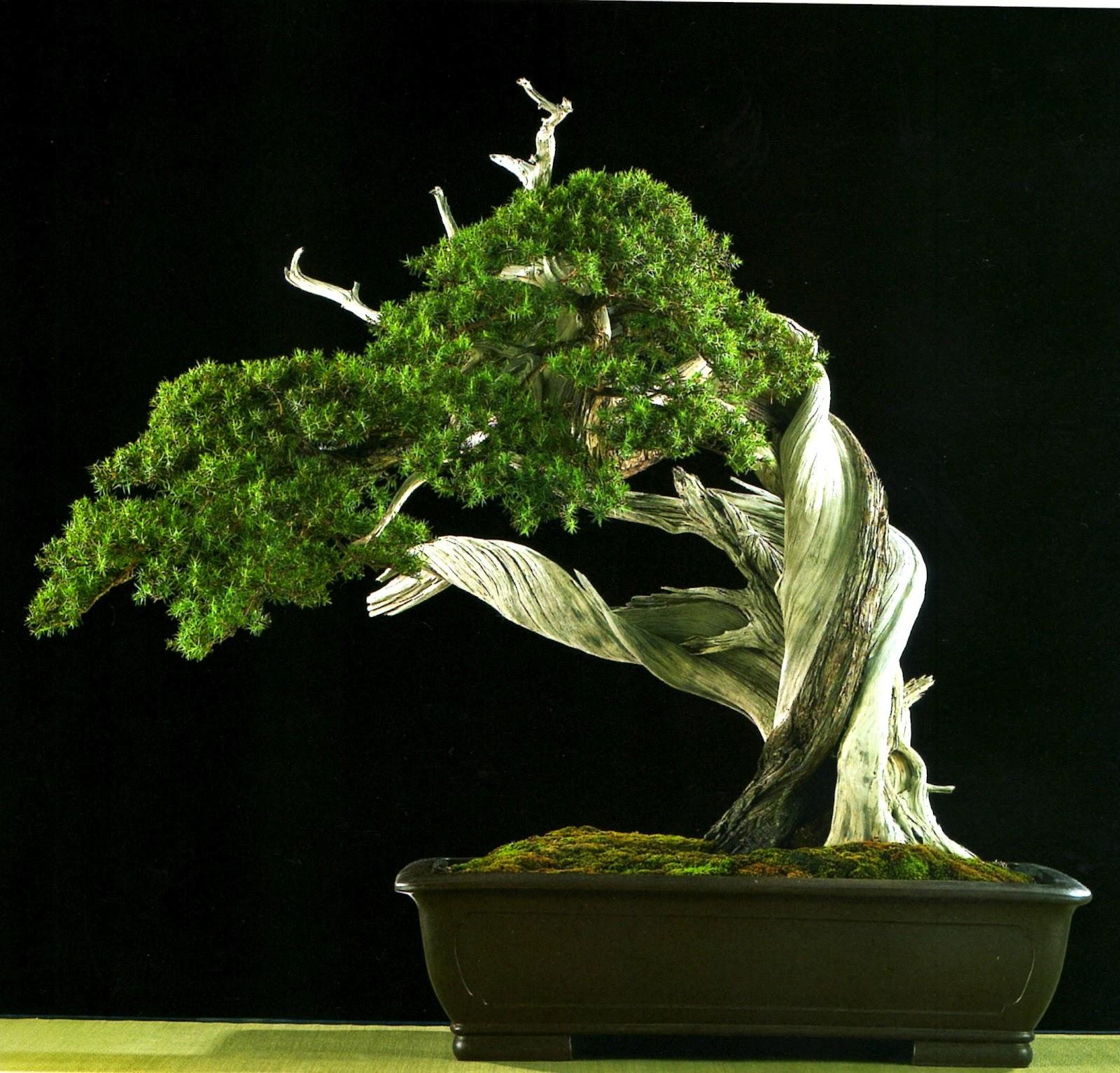 El tim bonsai 10 06 12 17 06 12 for Bonsai italia
