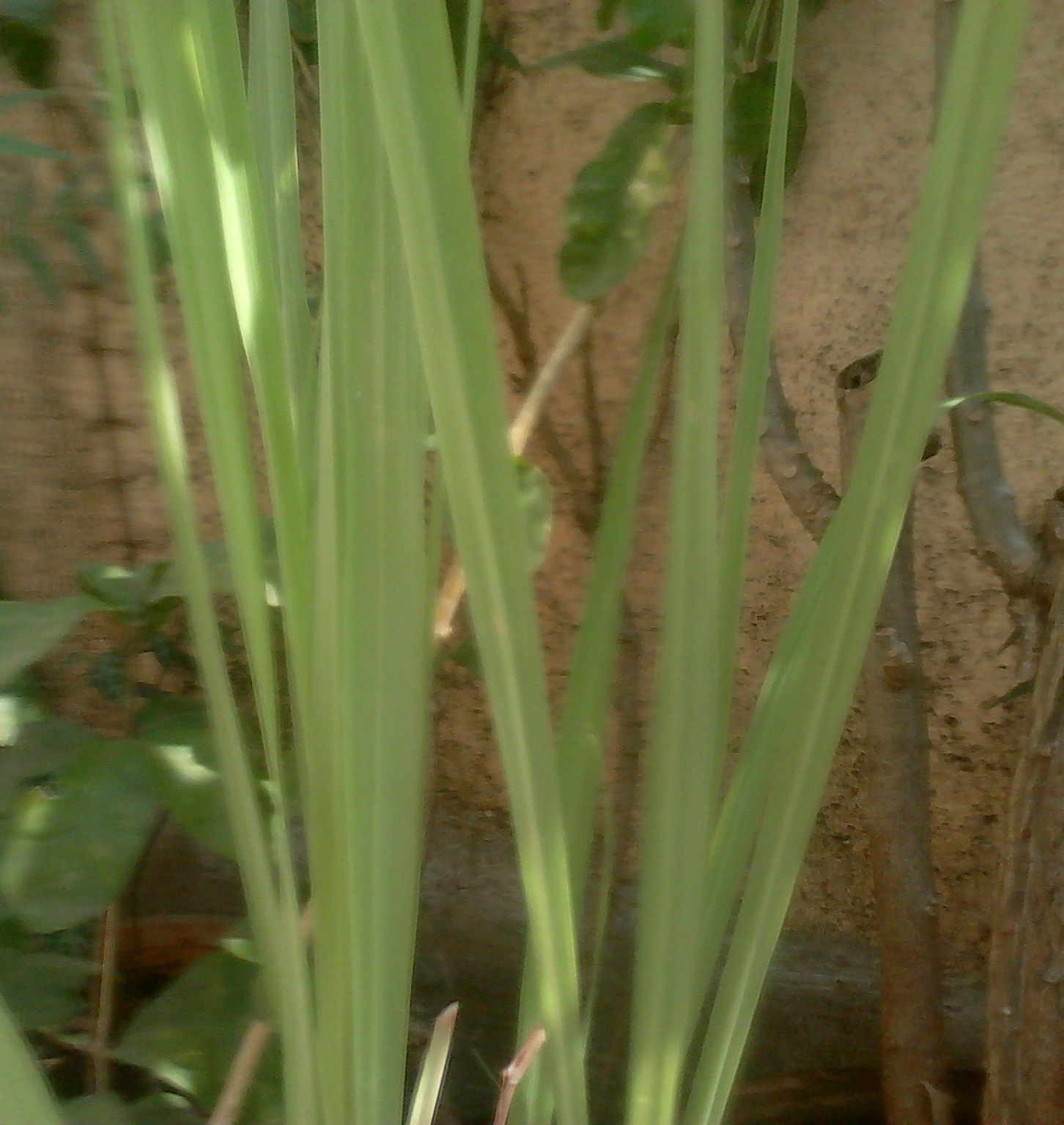 how to take care of lemon grass plant
