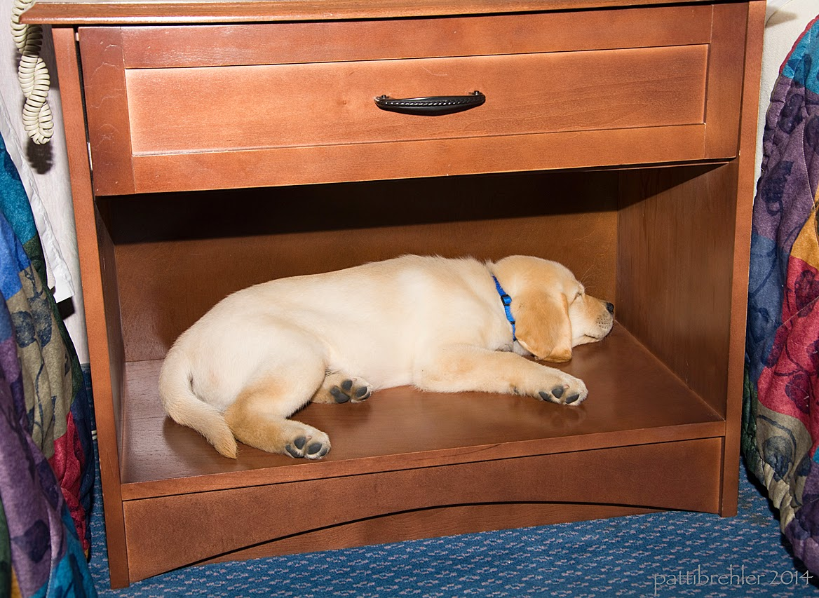 A small yellow lab/golden retriever mix puppy is lying in a cubby hole of an end table. He is clearly asleep.The end table is wood with one drawer above the cubby and is situated between two hotel beds.