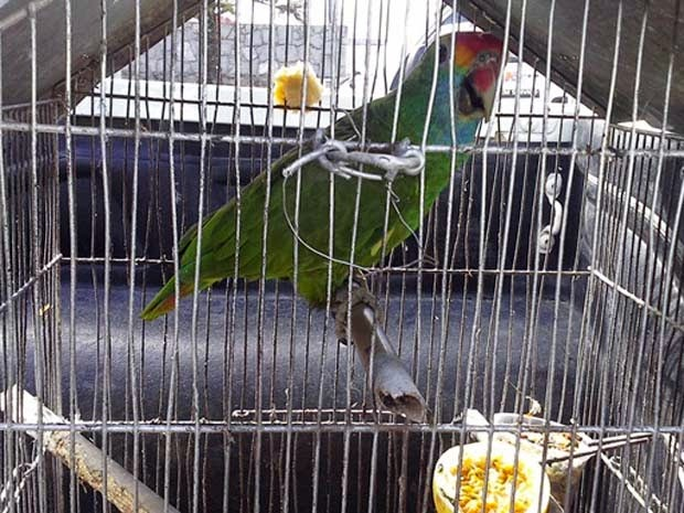 Três papagios foram devolvidos por donos (Foto: Secretaria Municipal de Meio Ambiente de Porto Seguro / Divulgação)