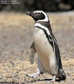pinguino patagonico Spheniscus magellanicus